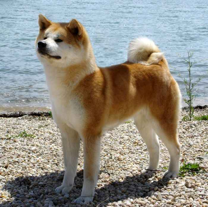 Akita-Inu-Dog