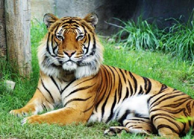 El-tigre-que-balaba