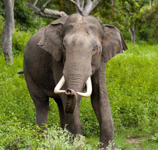 Elefante_asiatico_2