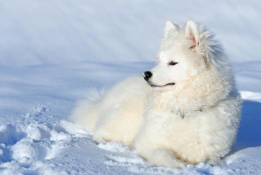 Eskimo-Dog-1161_l_2122bb629d9620ac