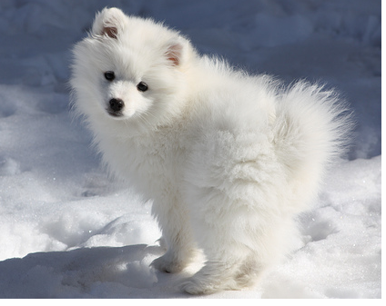 Eskimo puppy playing in snow
