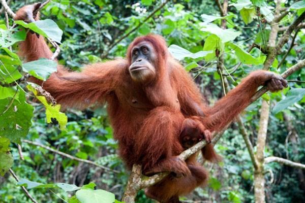 Orangután-de-Sumatra-600x400