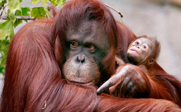 WNQH_orangutan1