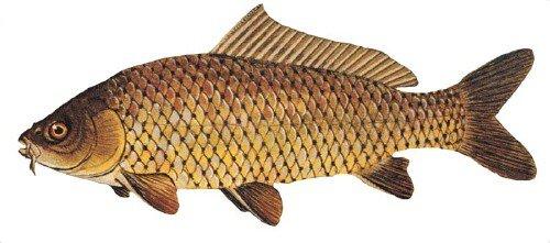 Fotos de peces carpa y peculiaridades de su cr a im genes for Como hacer un criadero de carpas