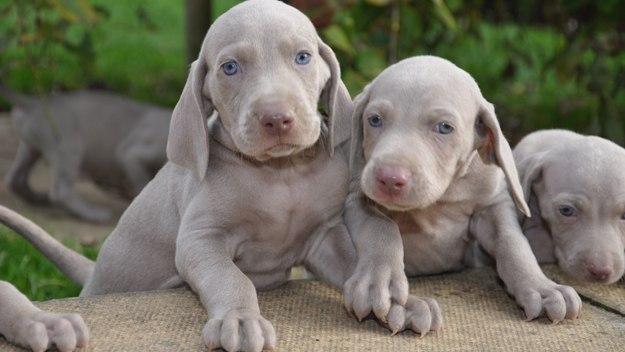 caza-braco-de-weimar-cachorros