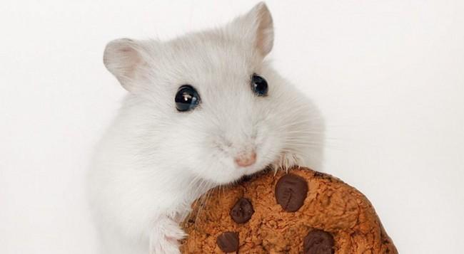 fonduwallpaper-de-un-hamster-domestico