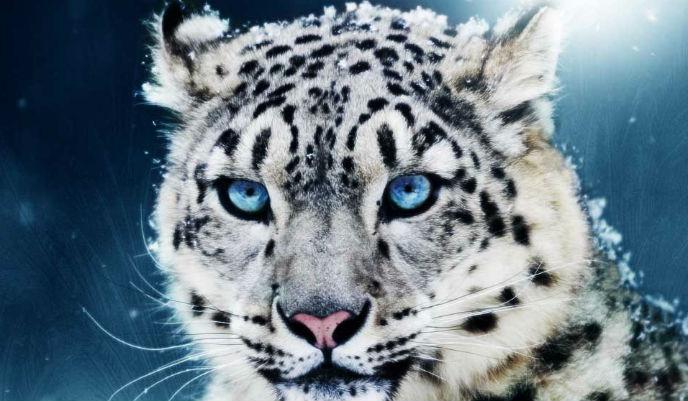 leopardo-de-las-nievess_g