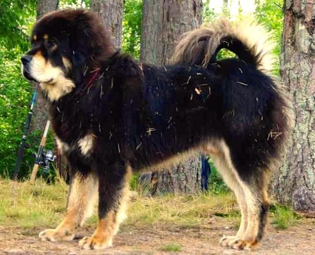 mastin-tibetano-3
