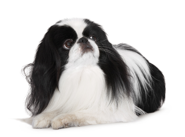 A Akita Dog Hermosas imágenes...