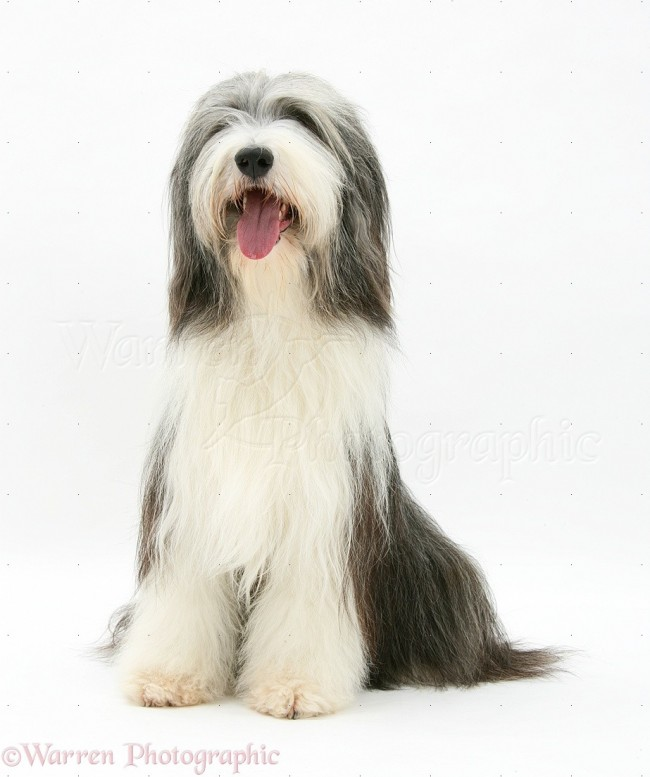 pastor17365-Bearded-Collie-sitting-white-background