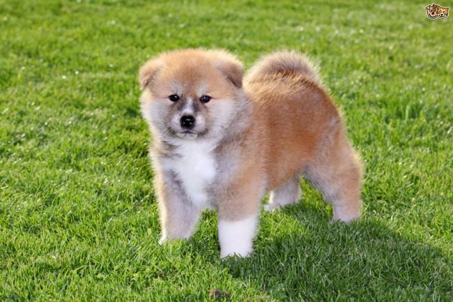 the-akita-inu-dog-a-good-choice-of-pet-53abe4759aa69