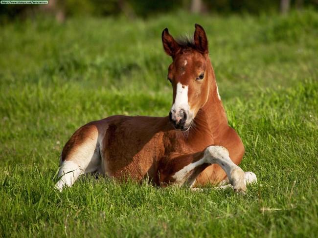 American Paint Foal, Iowa