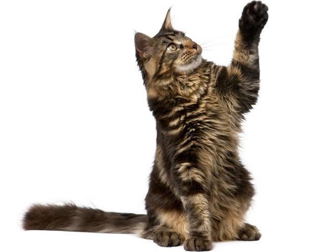 Por-qué-los-gatos-amasan-0