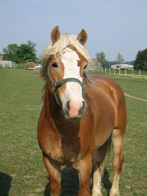 caballos-haflinger