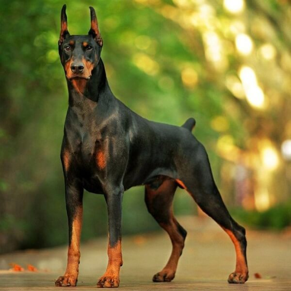 es el doberman el perro con mejor porte forocoches