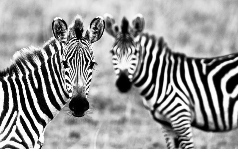 1372539332_black-and-white-pair-of-zebras_800
