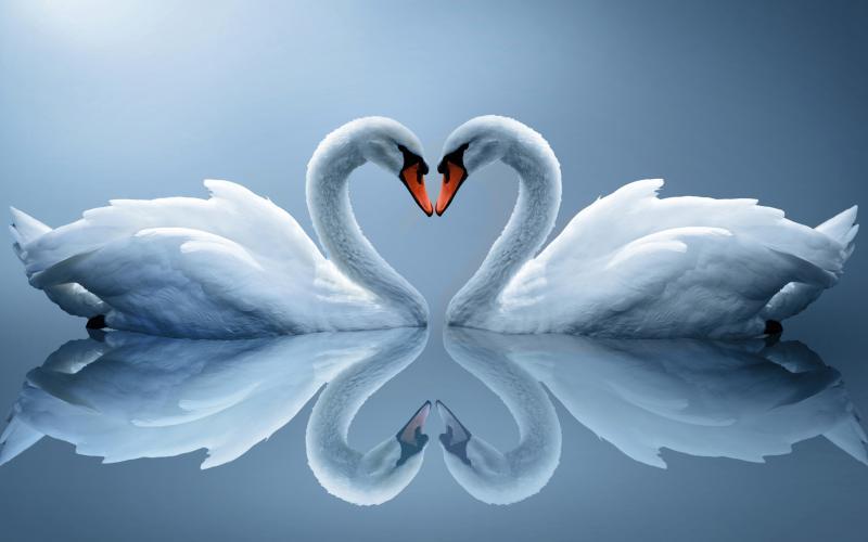 1407184134_swan-as-love-heart_800