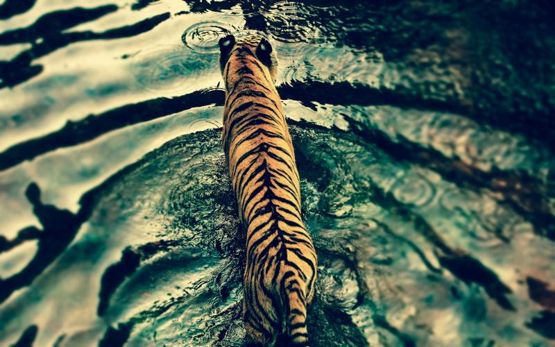 1410024817_tiger-crossing-the-river_800