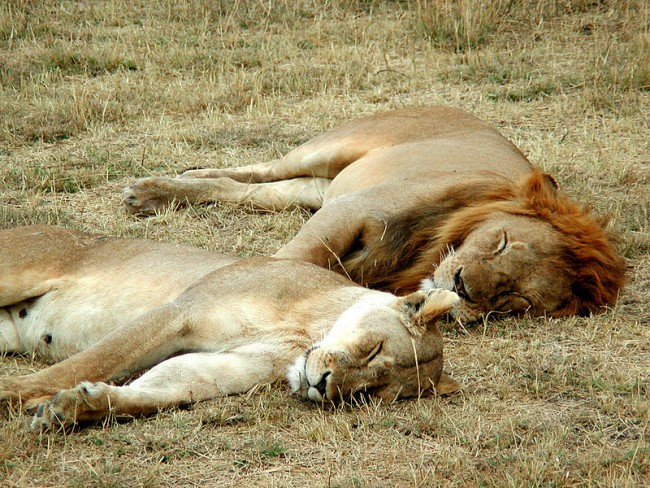 800px-Lion_and_lioness_sleeping
