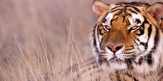 Animal-Tiger-l