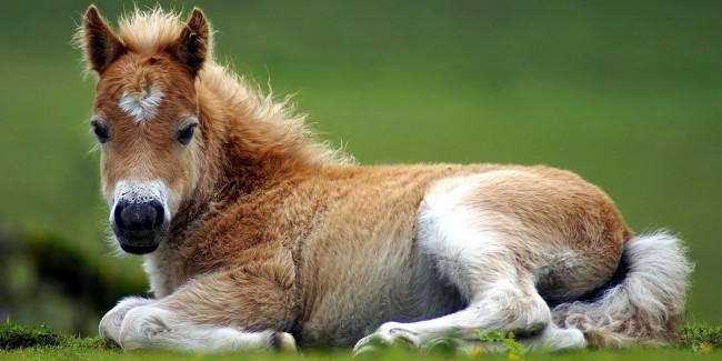 Animals-Ponies-l
