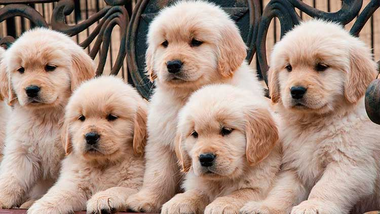 Cachorros-de-Golden-Retriever