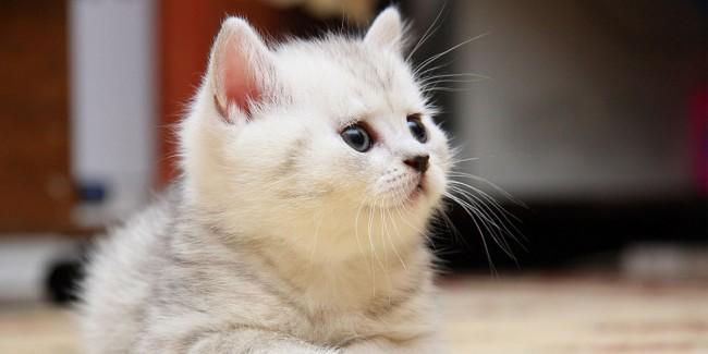 Cat-Feline-l