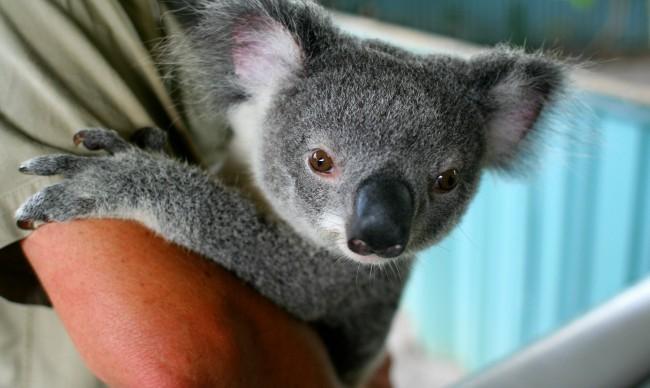 Im 225 Genes De Tiernos Koalas Para Descargar