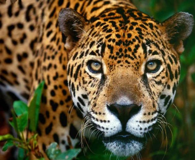 Fauna-de-la-selva-peruana-El-otoronto