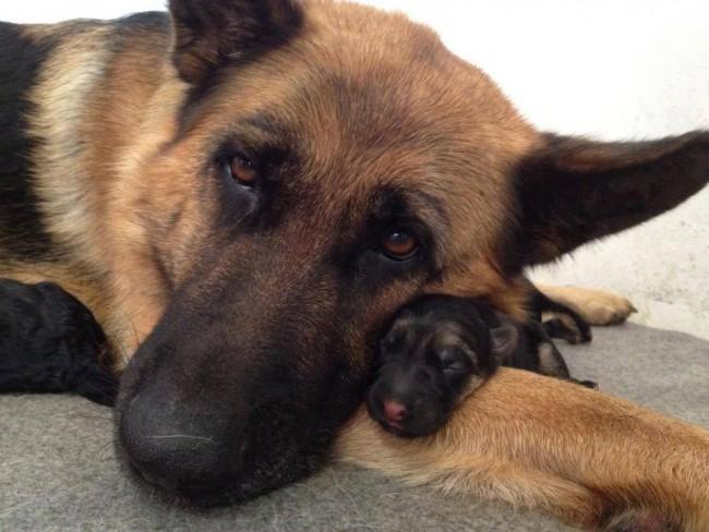 Fotografías-de-perros-con-sus-cachorros-20