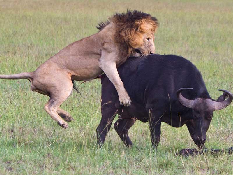 Videos-de-Animales-leon-cazando-bufalo