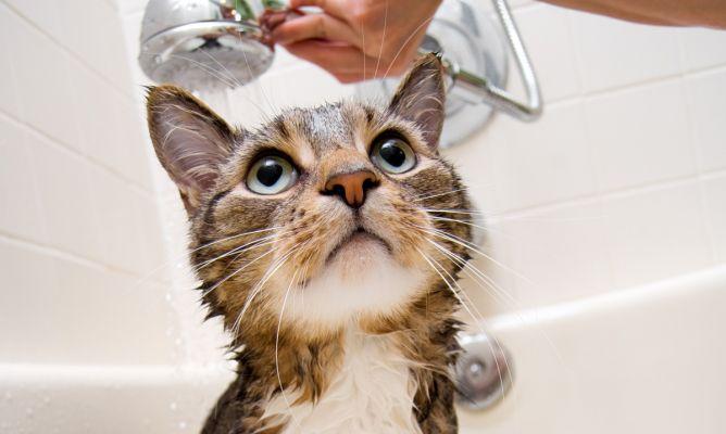 banar-gato-