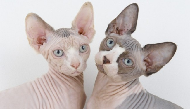 gatos_esfinge