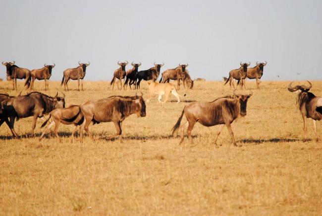 leon-cazando-masai-mara-2