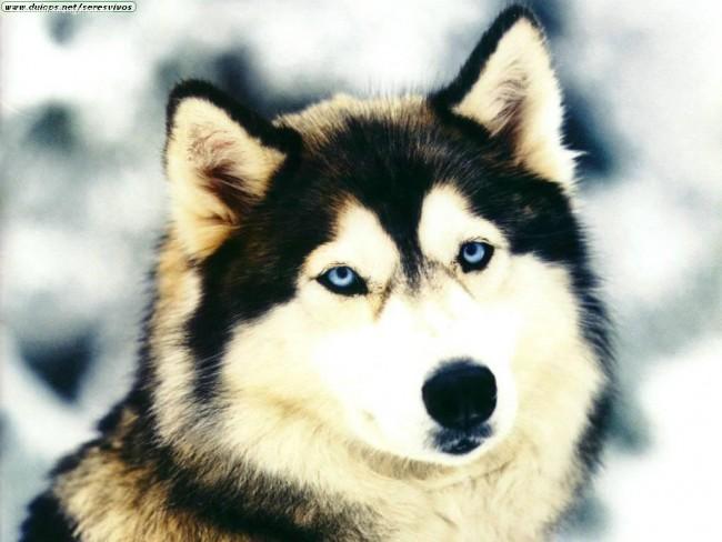 lobo-ojos-azules