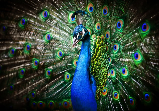 pavo-real-peacock-aves-de-pluma-y-exoticas