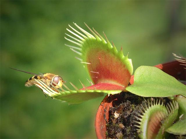 plantascarnivoras