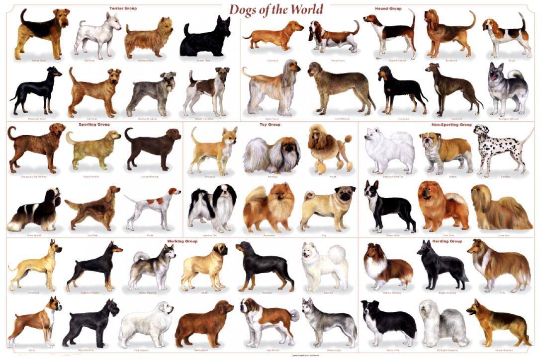 razas-de-perros (2)