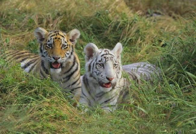 tigredebengala5