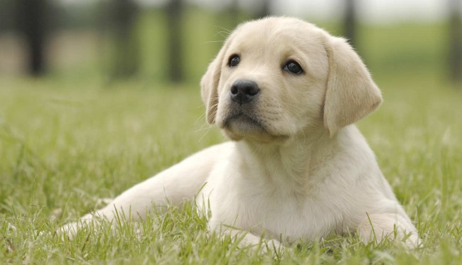 yellow-labrador-puppy-garden