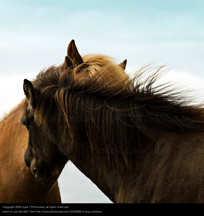 223898-stock-photo-animal-amor-viento-natural-pareja-de-animales-caballo