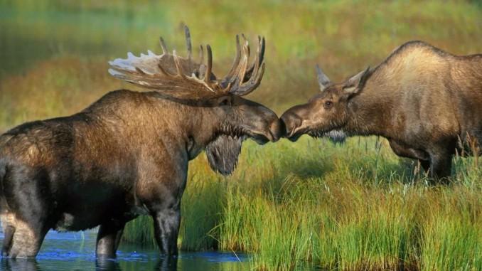 Amor-y-relaciones-de-pareja-entre-animales-10