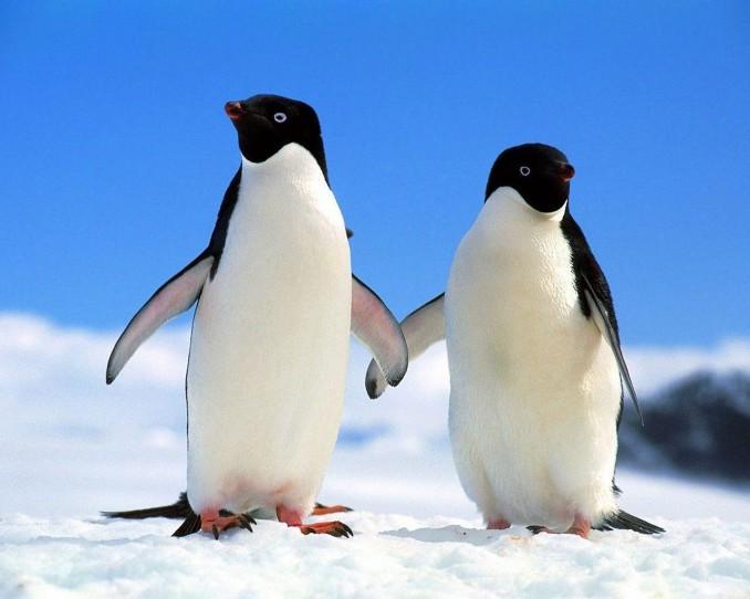 pinguinos-agarrados