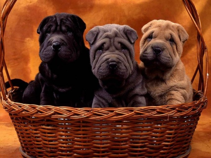 1409-large-cachorritos-de-shar-pei