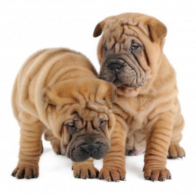 Shar-Pei-perros