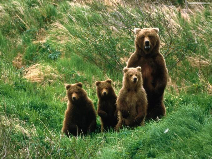 fondos-de-pantalla-de-animales-osos