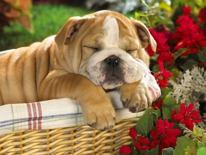 fondos-de-pantalla-de-perritos-bulldog-ingles