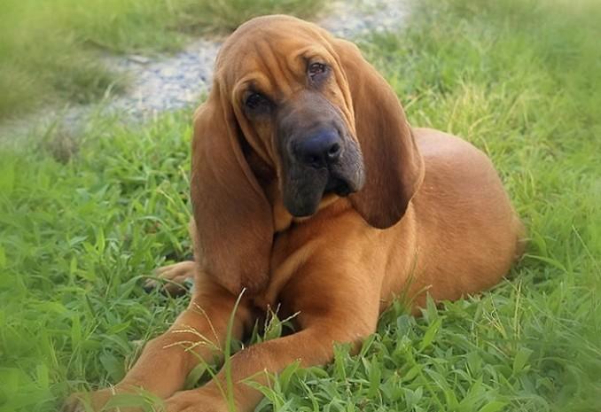 bloodhound4