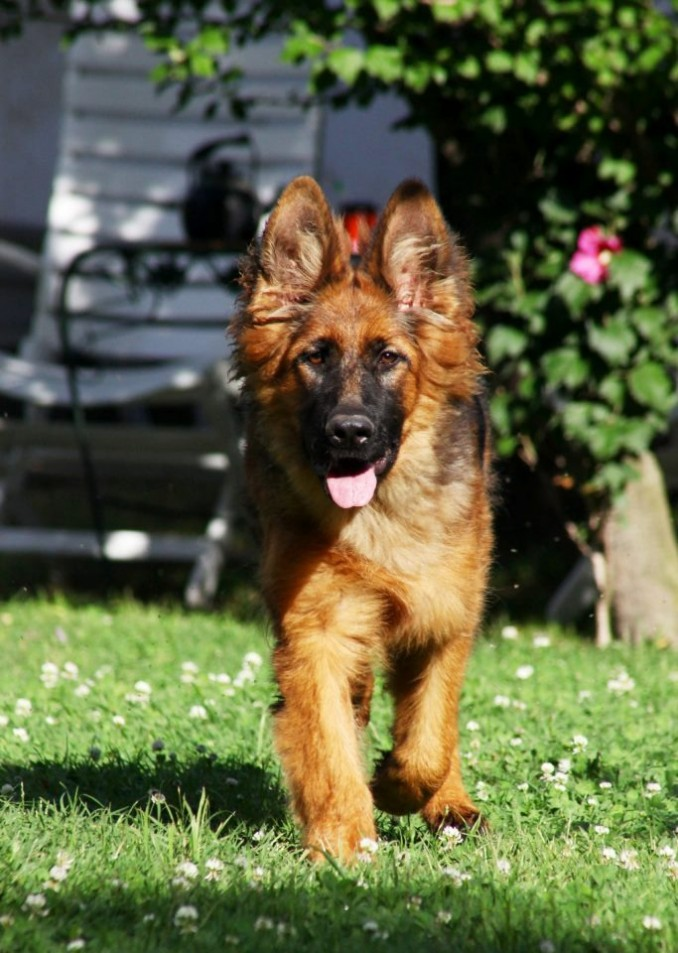 cachorras-de-ovejero-aleman-pelo-largo-poa-5018-mla4085314978_042013-f