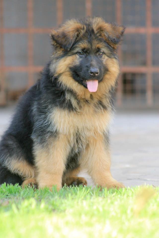 cachorras-de-ovejero-aleman-pelo-largo-poa-5018-mla4085330696_042013-f